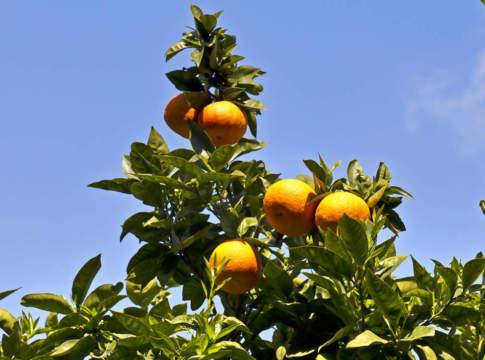 agrumicoltura innovativa e corso di potatura
