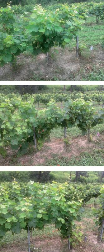 Dall'alto in basso: viti non trattate, trattate con tester e trattate con Basfoliar® Aktiv in test di controllo della peronospora.