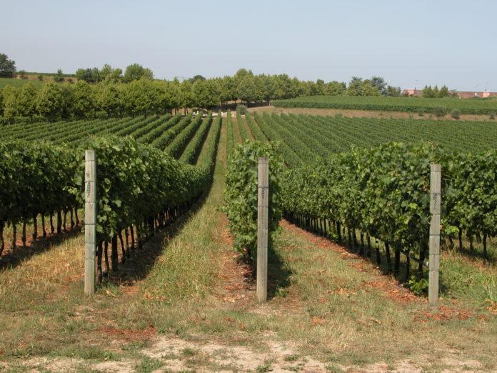 vigneti, viticolo