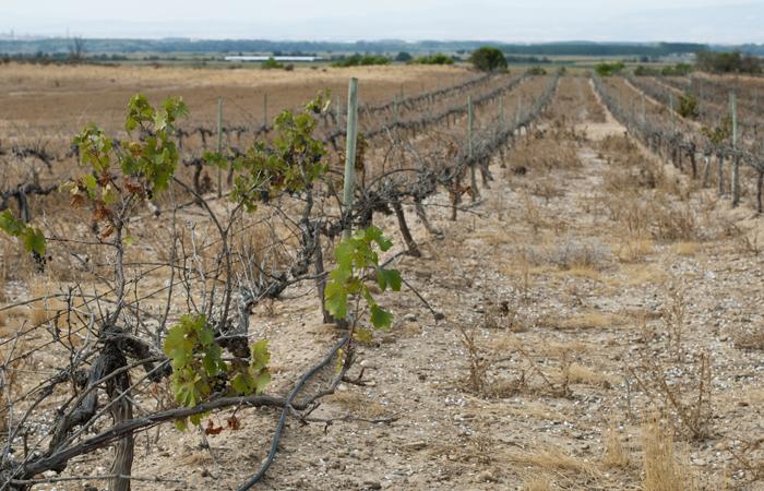 Gestione dei cambiamenti climatici un 39 indagine vvq for Irrigazione vigneto
